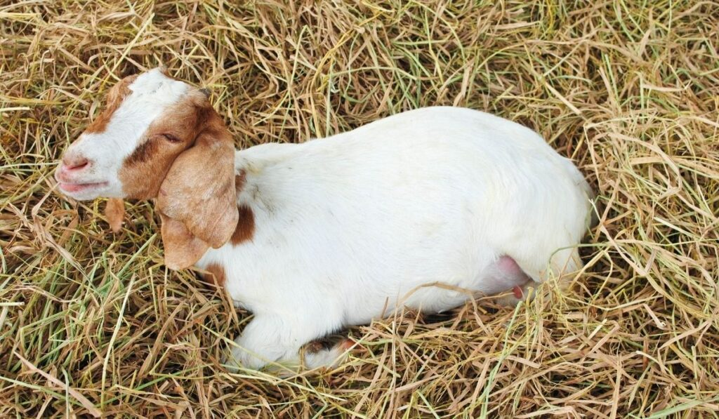 sick goat shaking on straw in the farm