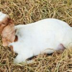 What Does It Mean When A Goat Is Shaking/Shivering?