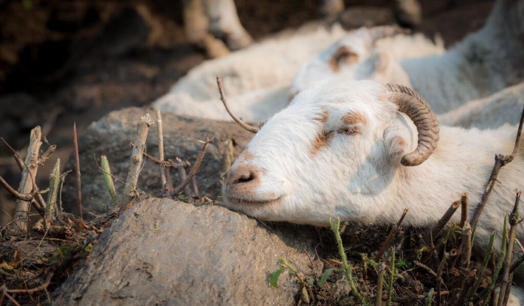sick goat shivering