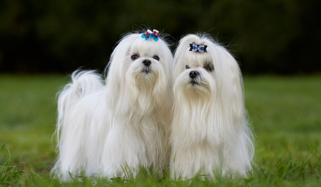 two Maltese dogs