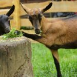 Brown Goat Breeds