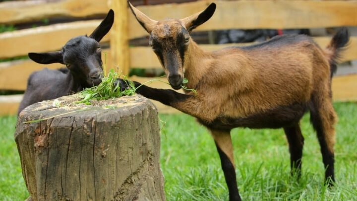 Alpine-Goat