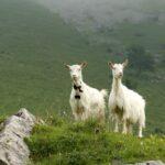 White Goat Breeds