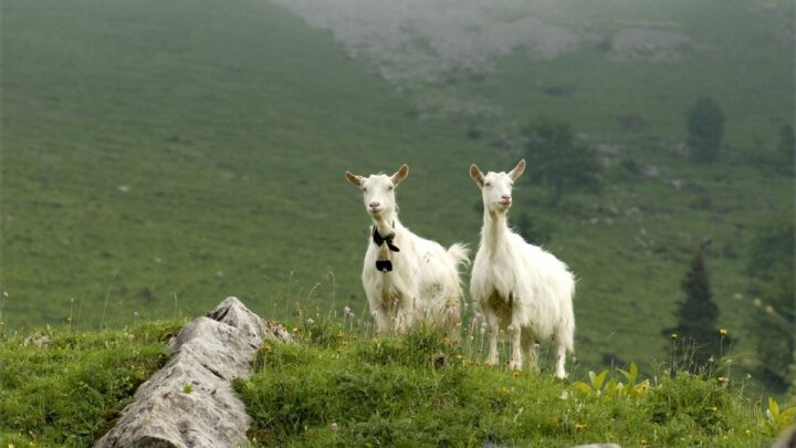 Appenzell-Goat