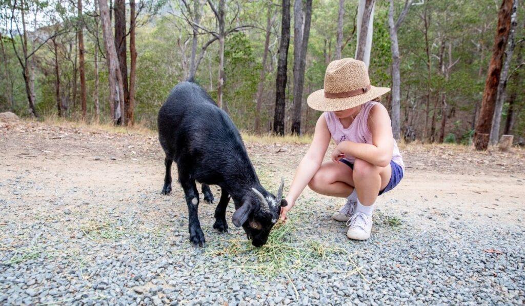 Australian Melaan Goat