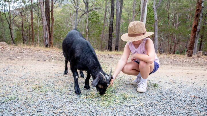 Australian-Melaan-Goat