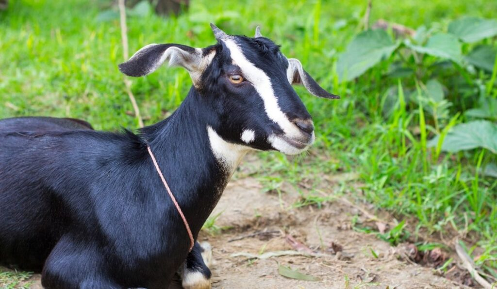 Black Bengal Goat