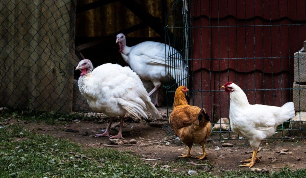 Brown Chicken and White Turkeys