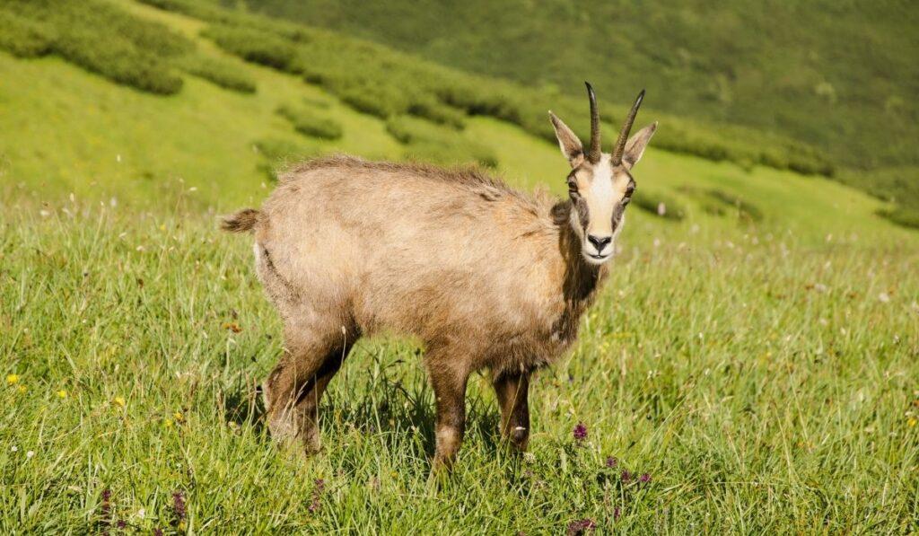 Chamois Colored Goat