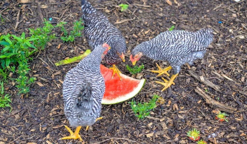 Chicken Eating Fruits