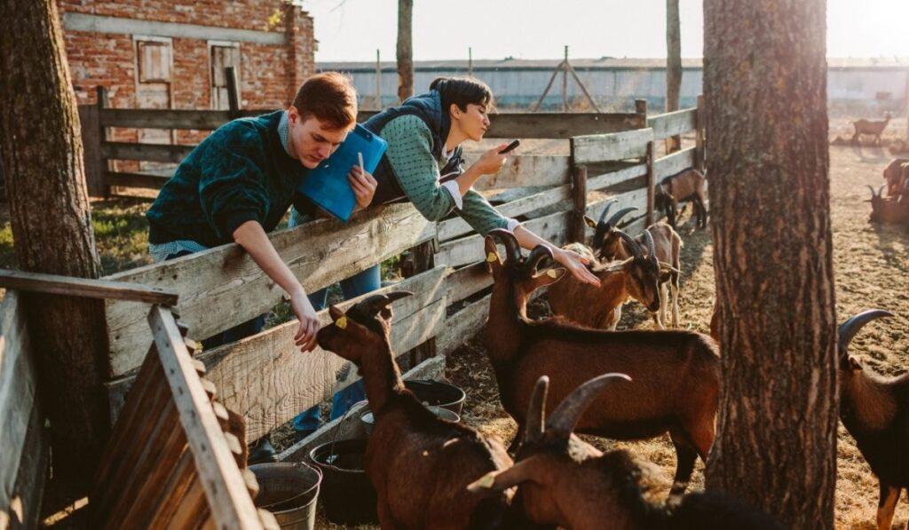 Couple In Goat Farm