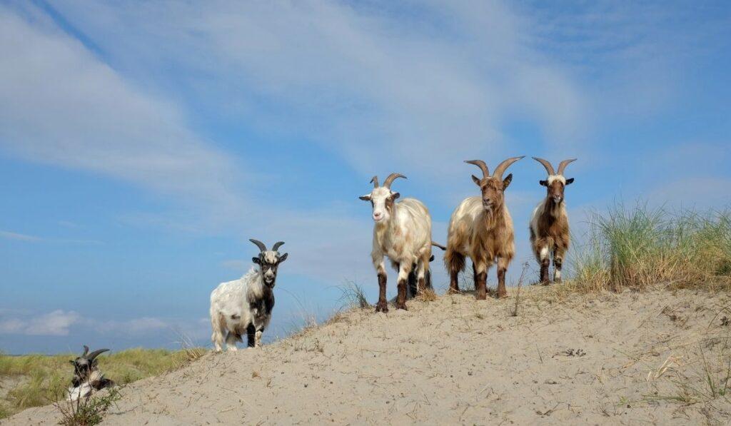 Danish Landrace Goat