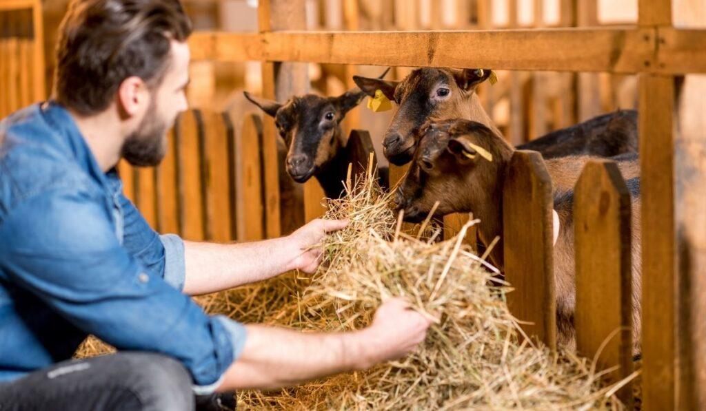Farmer Feeding Goat