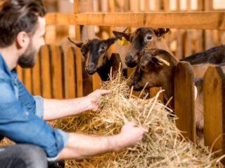 Farmer-Feeding-Goat