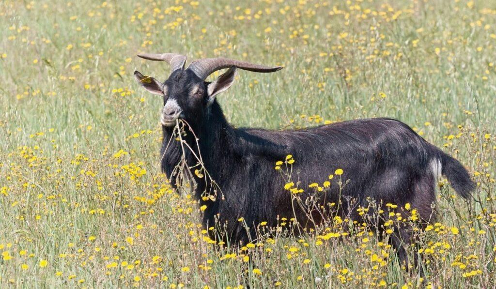 Garganica Goat