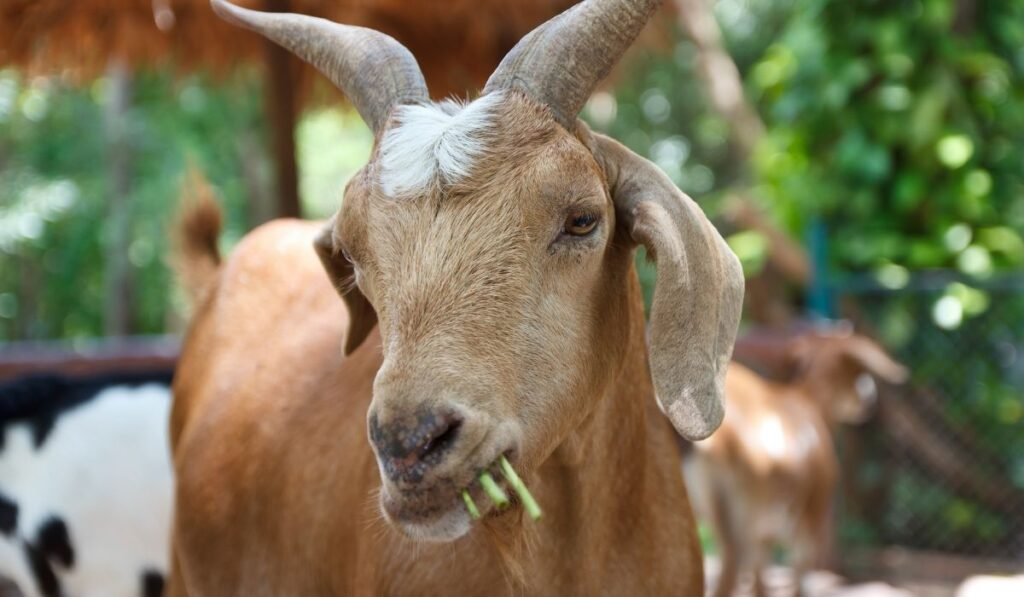 Goat with horn eating grass