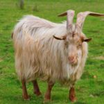 19 Beautiful Long-Haired Goat Breeds