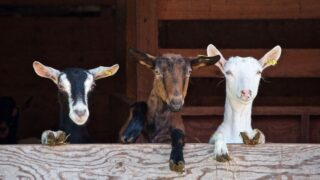 Group-of-goats