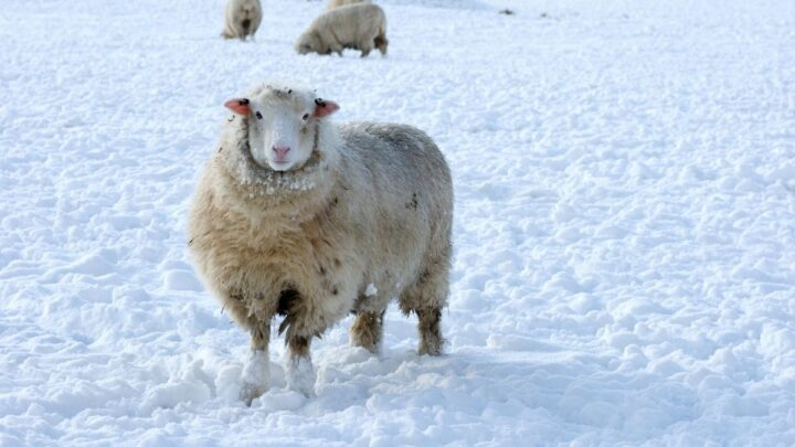 Sheep-Outside-in-the-Cold