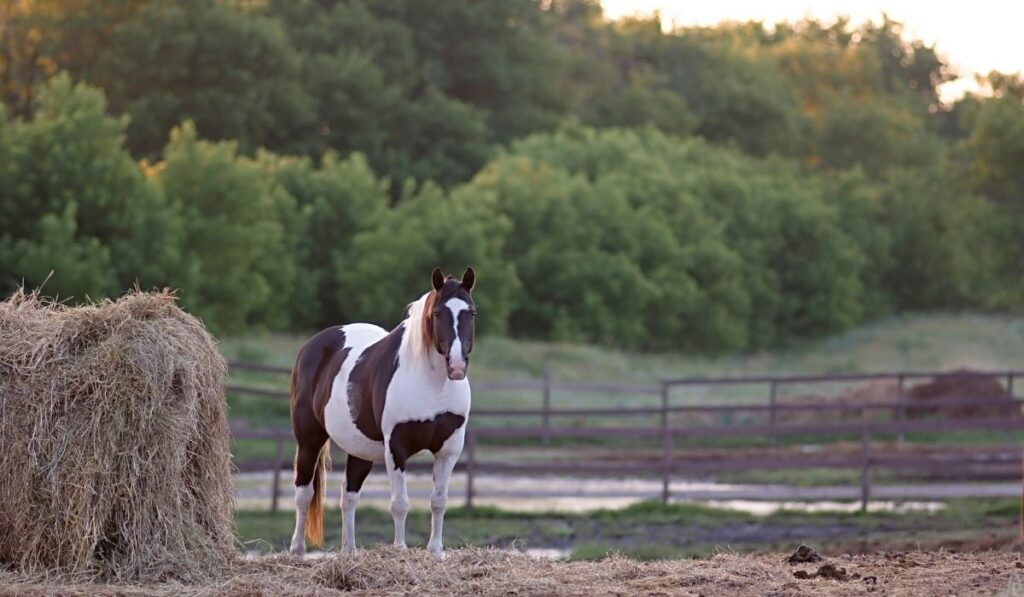 The American Paint Horse