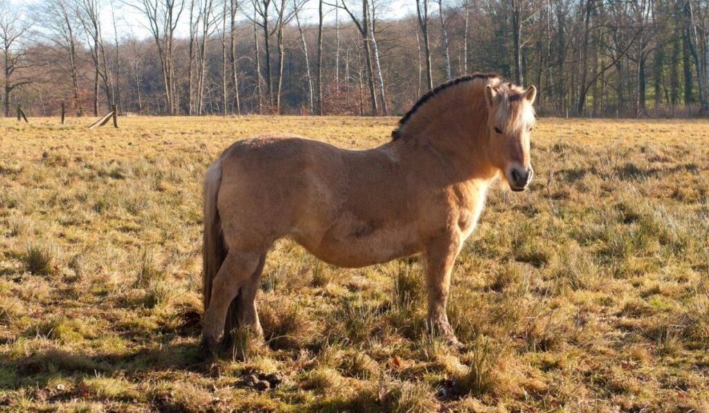 The Fjord Horse
