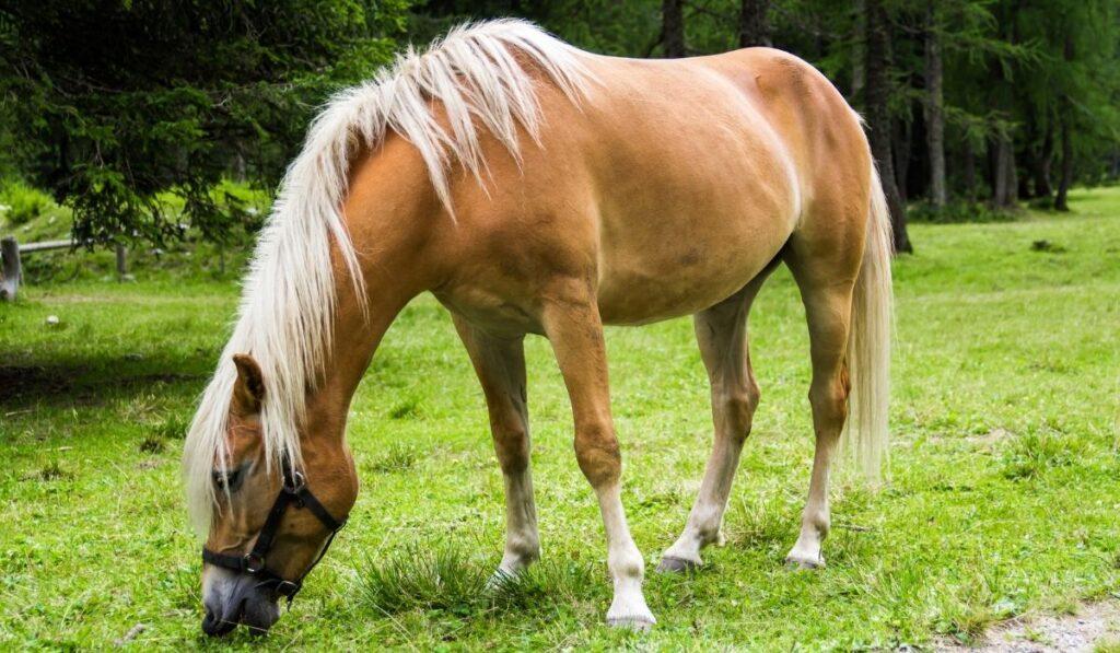 The Haflinger Horse