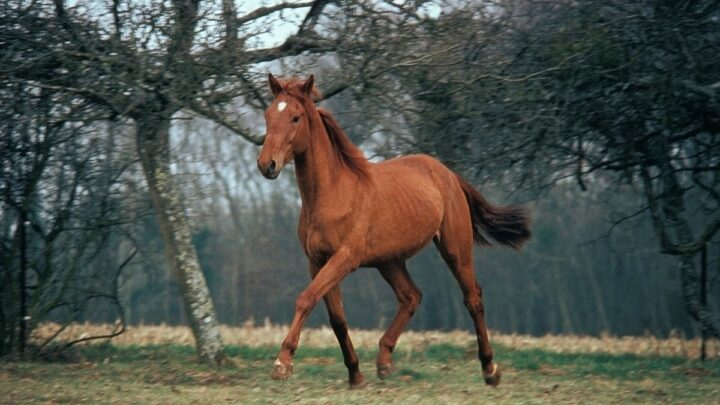 The Selle Francais Horse
