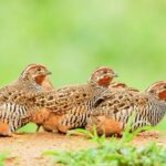 Can Quail Eat Chicken Feed?
