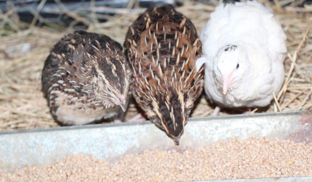 Three Quail Eating
