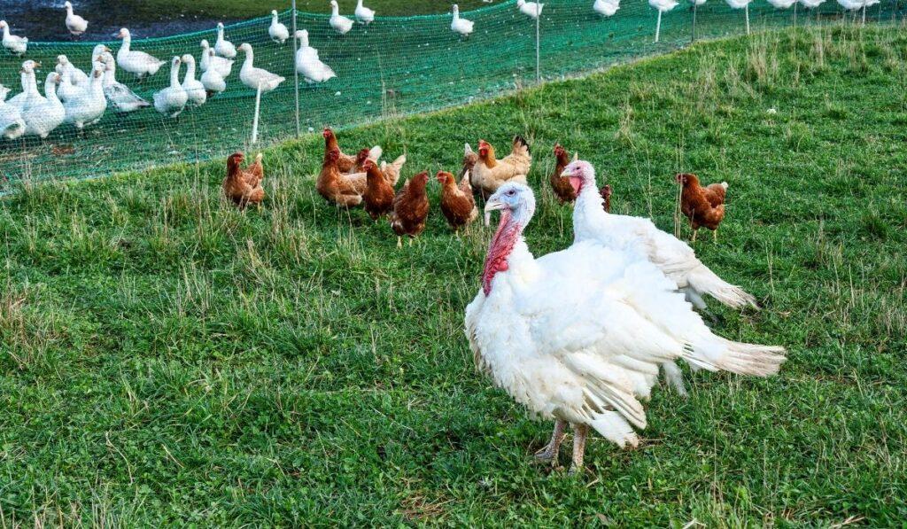 Turkeys-and-Chicken