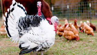 Turkeys-and-Chicken-Inside-Pen
