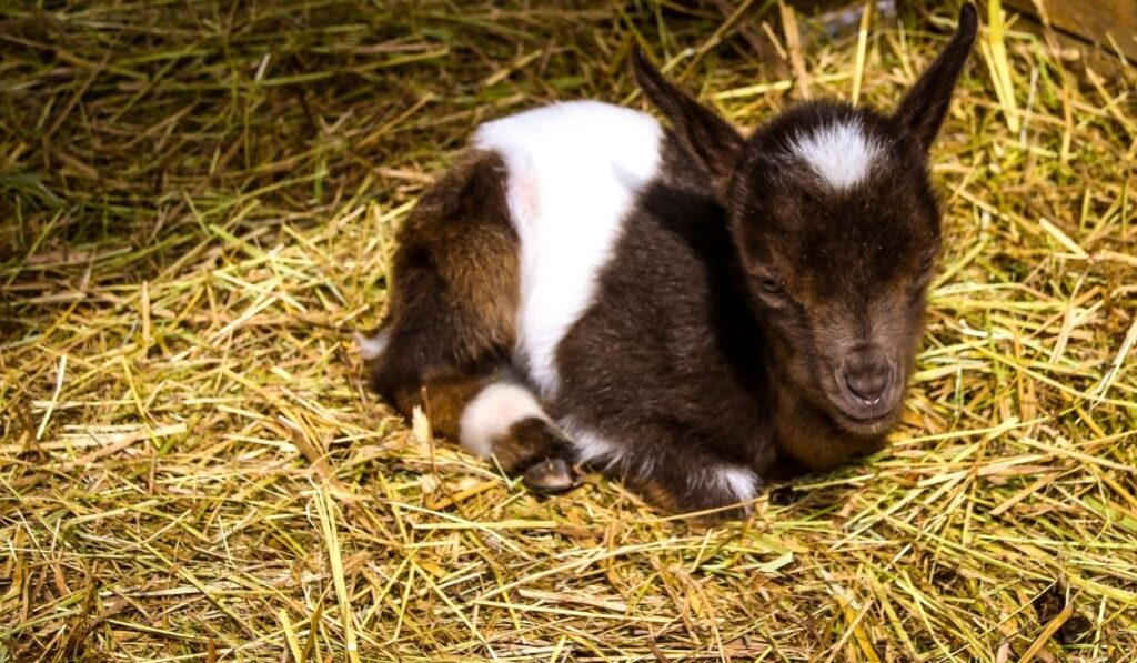 baby goat sitting in hay