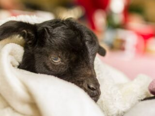 black-baby-goat-with-a-blanket