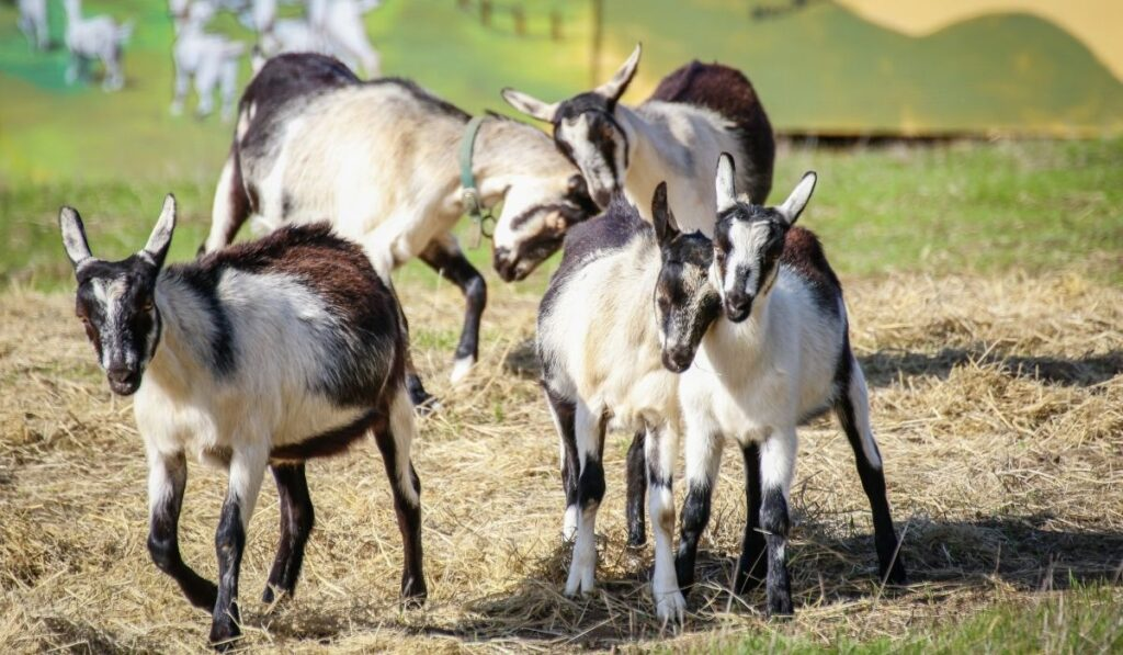 goats playing in the field