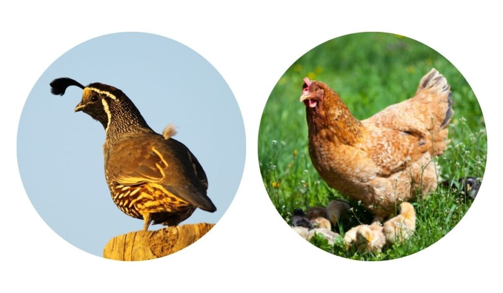 quail and chicken on separate photos