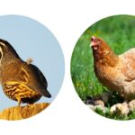 Can Quail Live With Chickens?