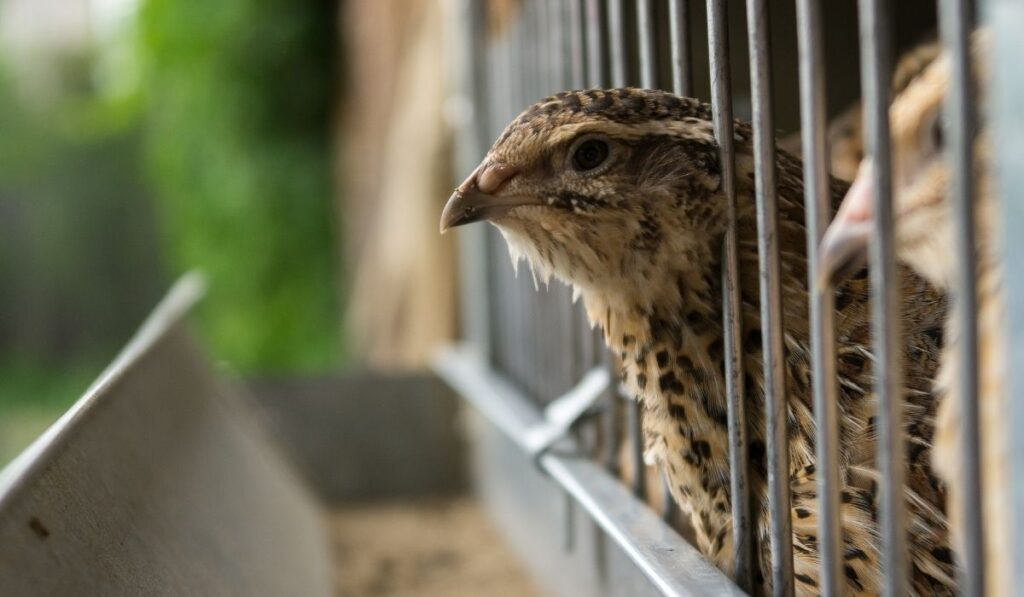 quail in cell