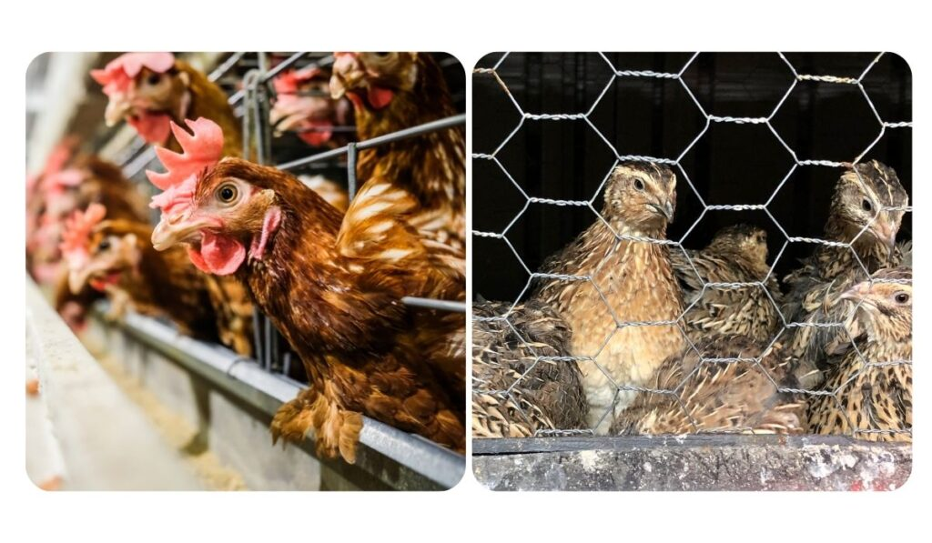 separate cells of chickens and quails