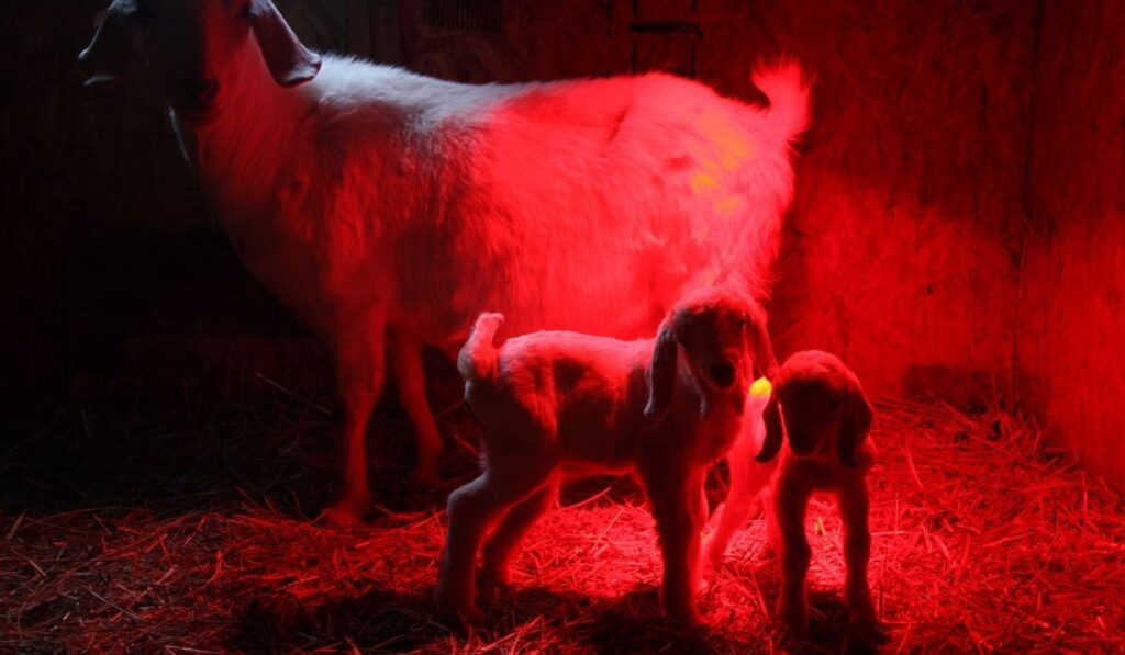 two baby goat with their mom in heat lamp