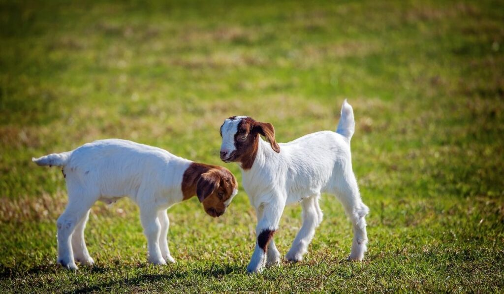 two-white-baby-goats-standing