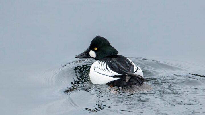 Barrows-Goldeneye-Ducks