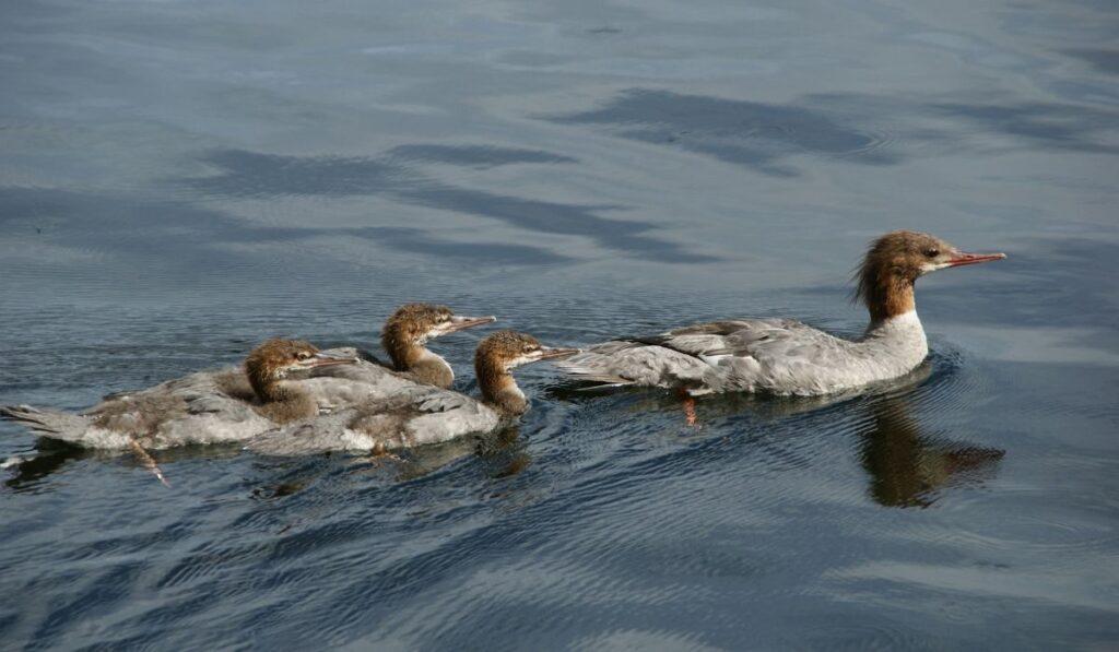Brazilian Merganser Ducks