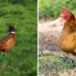 Can Chickens and Pheasants Breed?