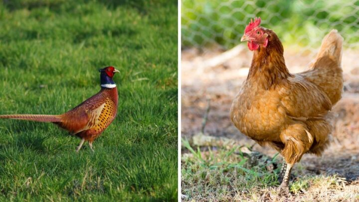 Chickens-and-Pheasant