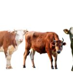 Cow, Steer, or Heifer? What's the Big Difference?