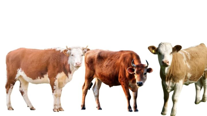 Cow-with-Steer-and-Heifer