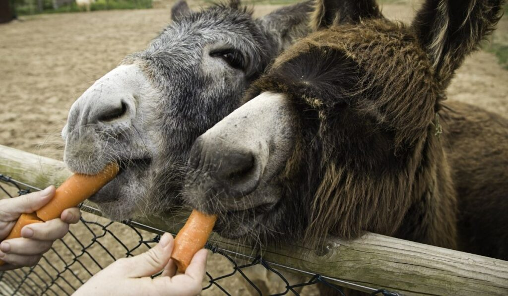 Donkey Eating Carrots