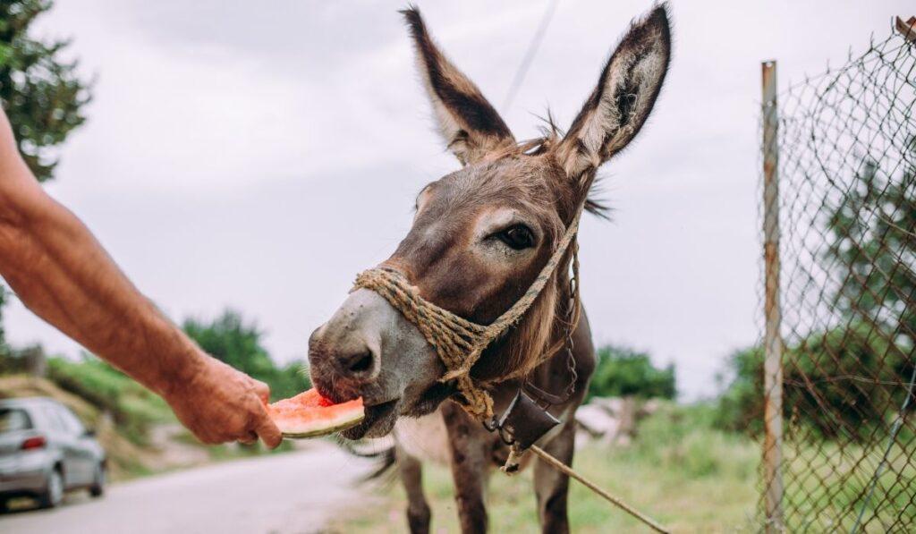 Donkey Eating Watermelon