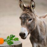Can Donkeys Eat Carrots?