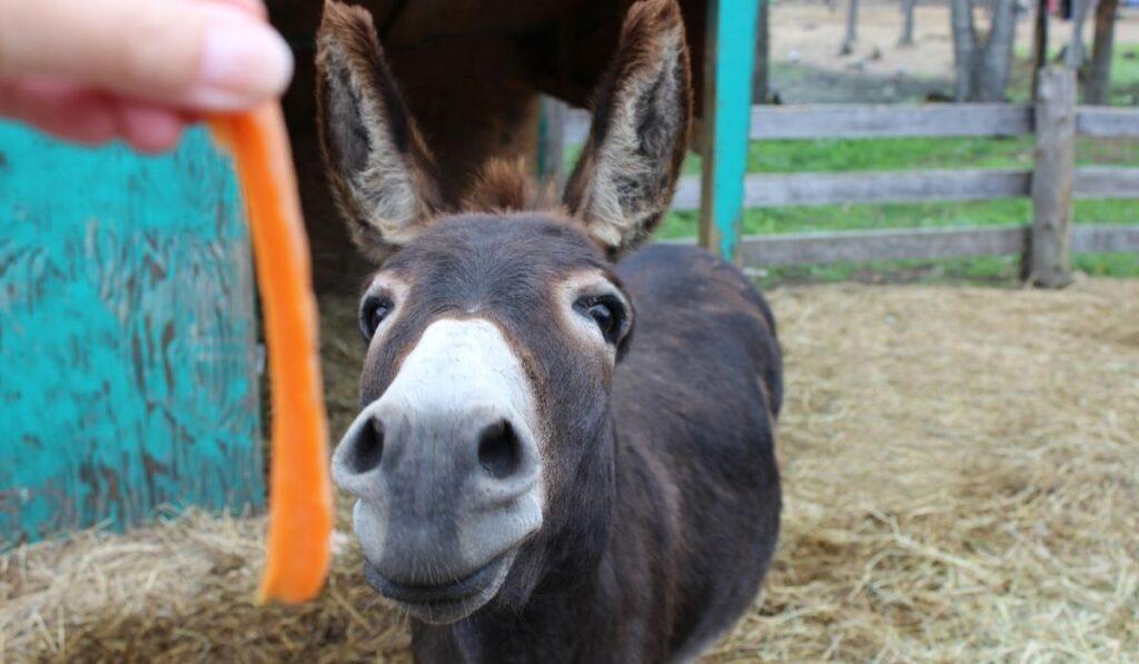 Feeding-Donkey-Carrots